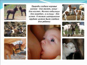 Можно ли новорожденных кормить козьим молоком?