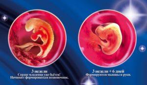 Плод на 2 неделе беременности