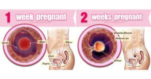 Алкоголь первые две недели беременности
