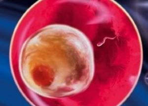 Что происходит в первые две недели беременности