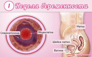 1 неделя беременности считается