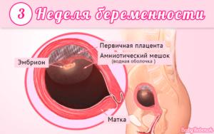 Плод 2 3 недели беременности