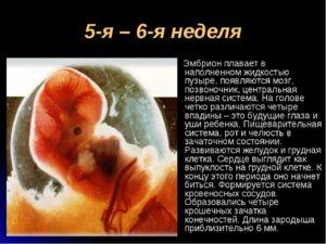 Какого размера эмбрион 5 недель