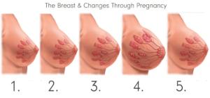 Грудь 2 неделе беременности