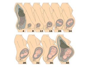 Матка на 20 неделе беременности