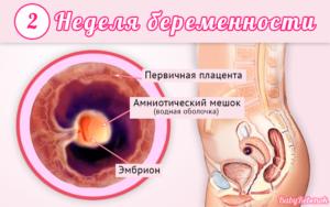 2 Недели беременности от зачатия признаки